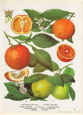 5444dab7d47a163b4e83ae41bf3b4018--vintage-botanical-illustration-vintage-botanical-prints.jpg