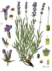 Lavandula_angustifolia_-_Köhler–s_Medizinal-Pflanzen-087.jpg